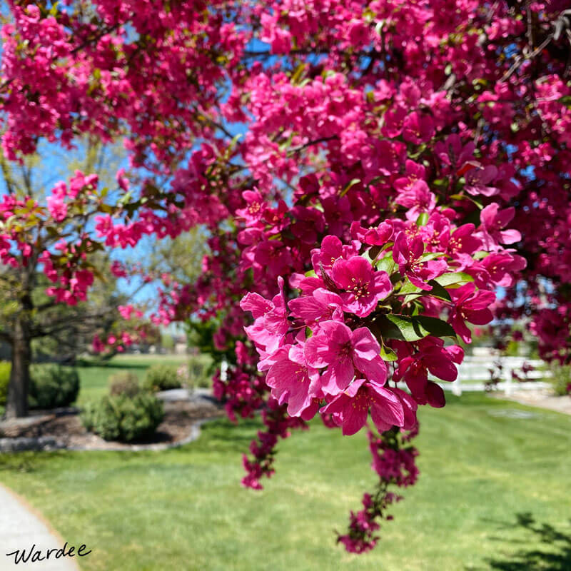 bright pink flowers in a tree